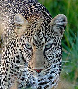 你最喜爱的非洲野生动物?